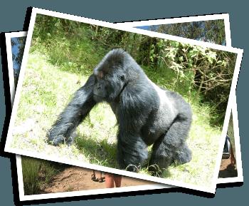 Uganda Gorillas & Chimps