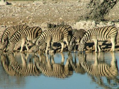 Zebras of Etosha National Park